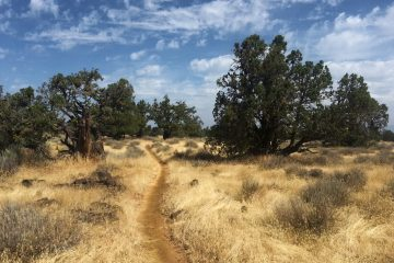 The pacific crest trail passes through a small patch of trees among a sea of dry grass. Near Hat Creek Rim in Northern California.